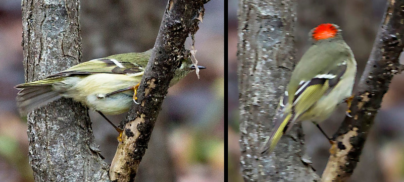 A Rubycrowned Kinglet: Two views.