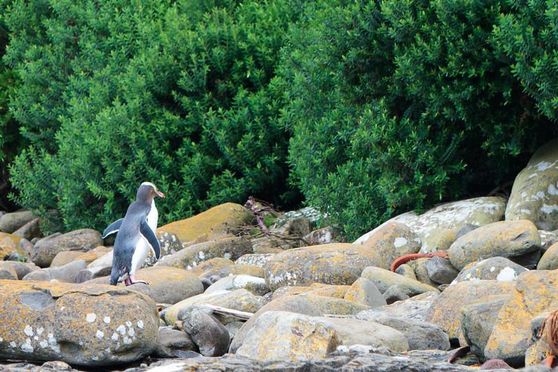 New Zealand - Curio Bay - Yellow-eyed Penguin!