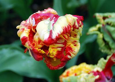 Wall of Tulips
