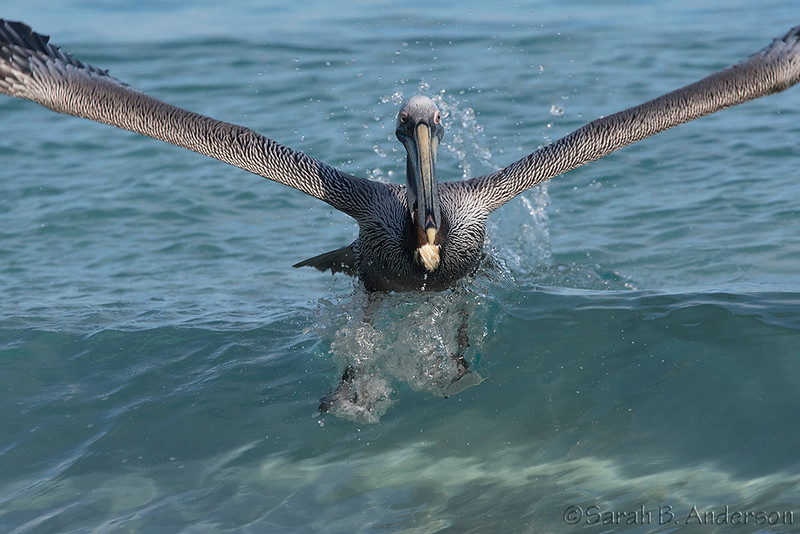 Brown Pelican takeoff, Cinnamon Bay