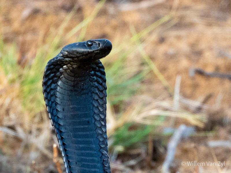 20200529 Black Spitting Cobra (Naja nigricincta woodi) from the Cederberg, Western Cape