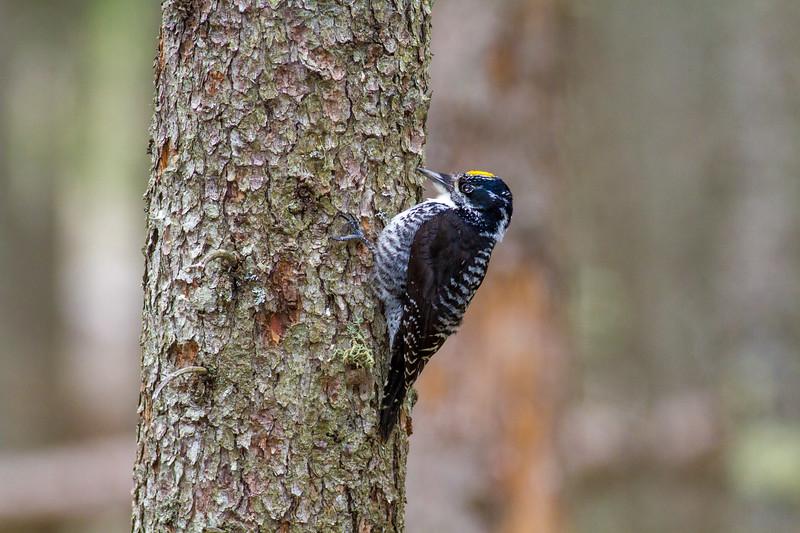 American Three-toed Woodpecker male Warren Nelson Memorial Bog Blue Spruce Road Sax-Zim Bog MN IMG_1367.jpg