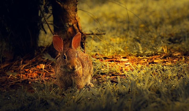 Florida Marsh Rabbit - 17.jpg