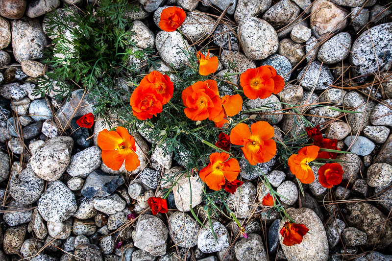 August 31 - Poppies and rocks and pines and green, Mammoth Lakes, CA.jpg