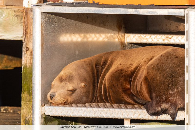 California Sea Lion - Monterey, CA, USA