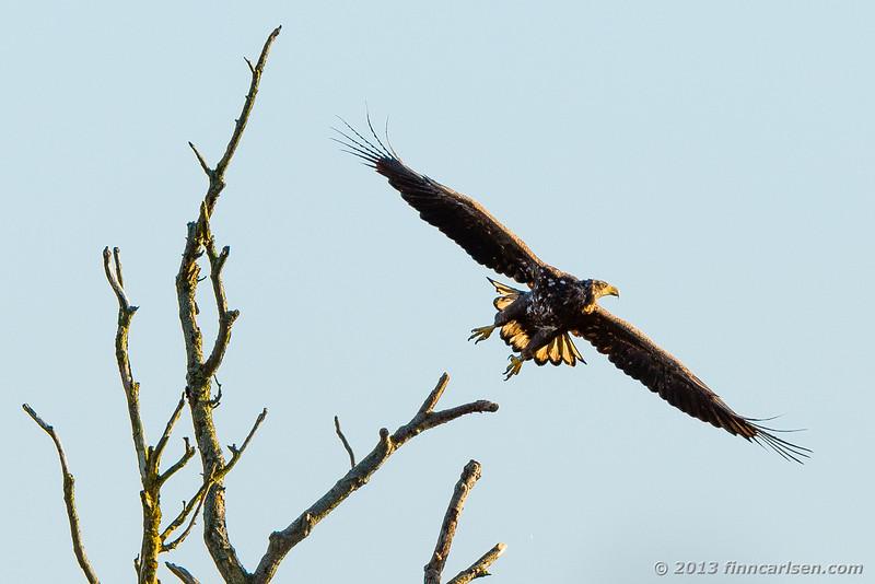 ørn (Haliaeetus albicilla - White-tailed Eagle)