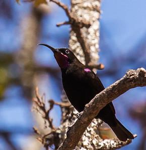 Amathyst Sunbird