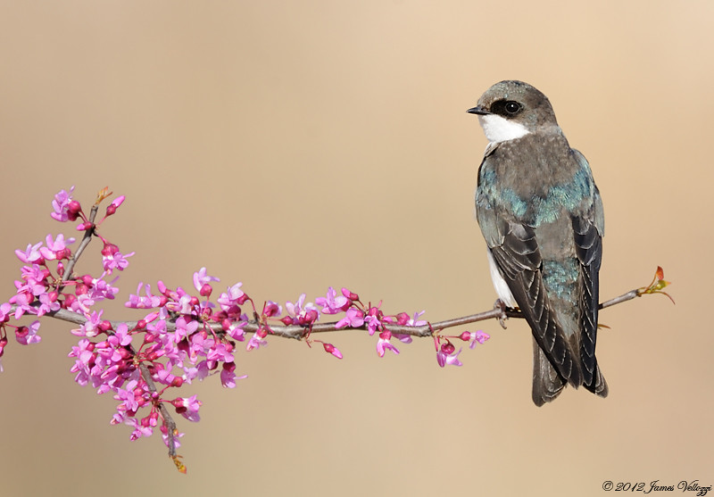 Tree Swallow, Tachycineta bicolor