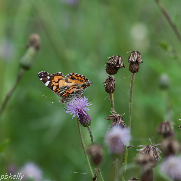 July 7. Peak Preserve.  American Painted Lady.