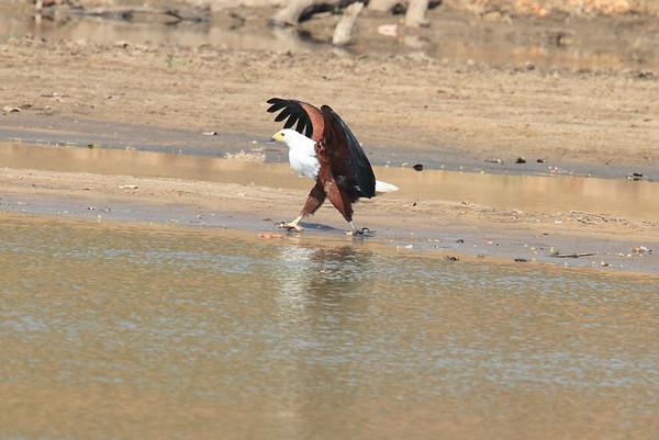 African Fish Eagle Kaingo Zambia 2013 and 2017