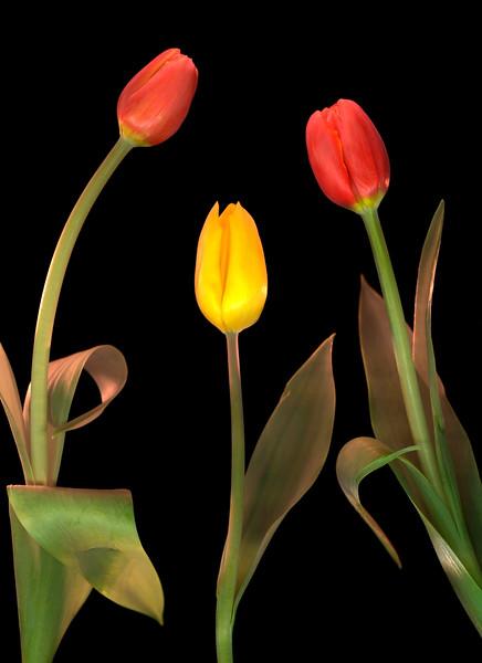 Tulips, Study #1
