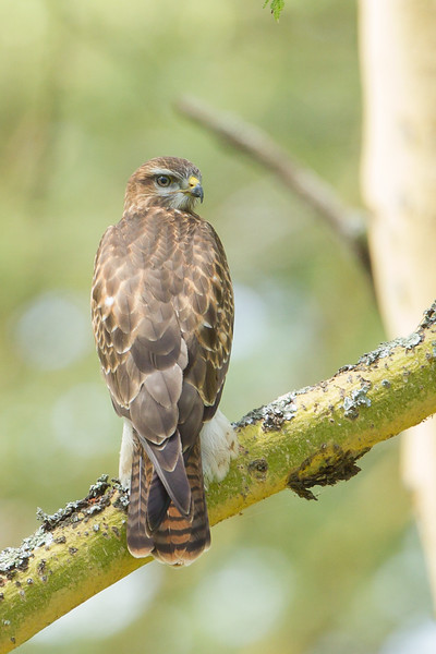 Common Buzzard - Lake Nakuru National Park, Kenya