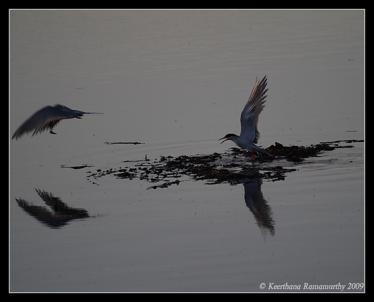 Forster's Tern at sunset golden light, Robb Field, San Diego County, California, May 2009