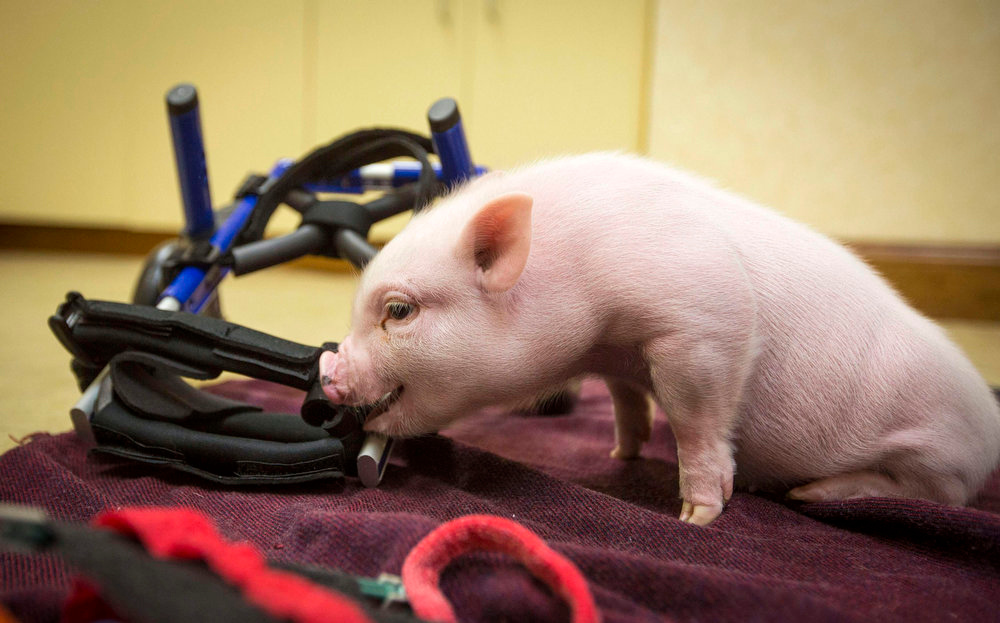 . The piglet known across the internet as Chris P. Bacon examines his new wheelchair on the office floor of veterinarian and owner Len Lucerno in Clermont, Florida February 13, 2013. The piglet\'s hind legs are deformed and Dr. Lucero had fashioned a wheelchair out of K\'nex toys to help the piglet walk. Chris has outgrown his second wheelchair, and will soon grow into his new, more permanent and rugged model.  REUTERS/Scott Audette
