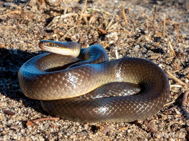 20190313 Brown Water Snake (Lycodonomorphus rufulus) from Melkbosstrand