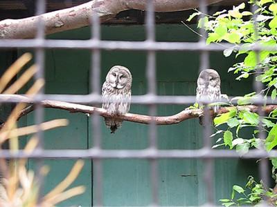 Owls video
