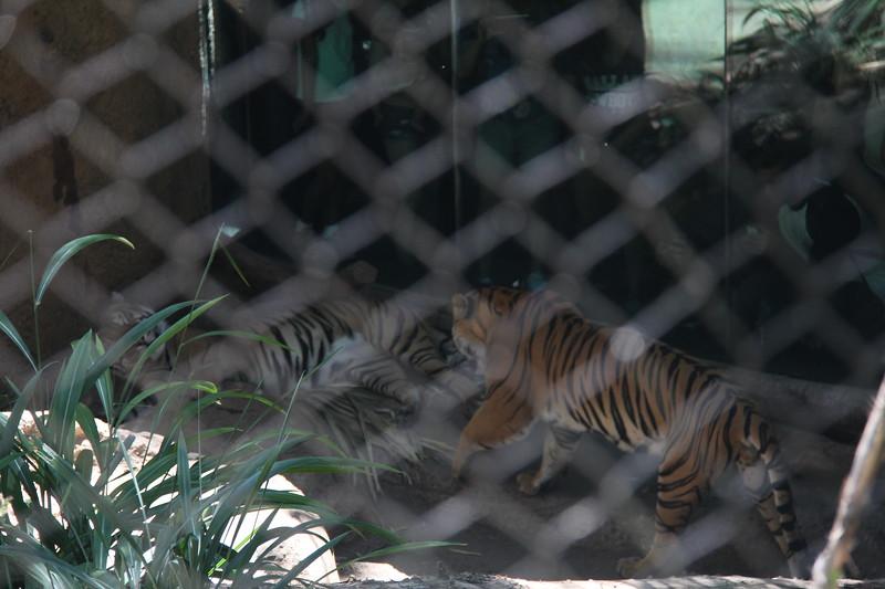 20170807-155 - San Diego Zoo - Tiger.JPG