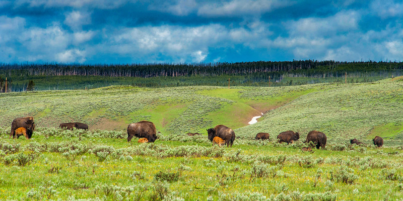 Bison in the Hayden Valley.  June 28, 2014.  I recommend purchasing this as a panorama print with an aspect ratio of 1:2 or 1:3.