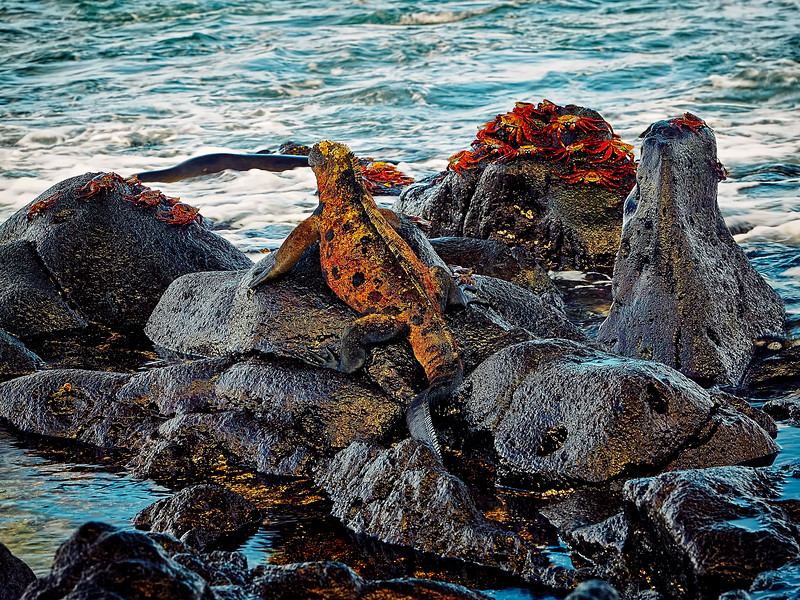 A marine iguana rests among the rocks and crabs while a seal moves about in the surf.