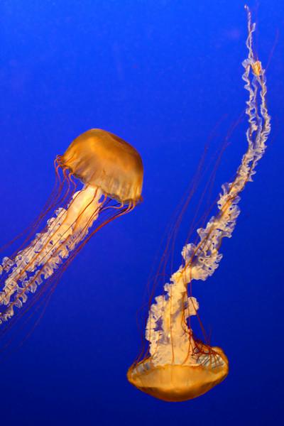 20070120_3932_Aquarium_JellyFish.jpg