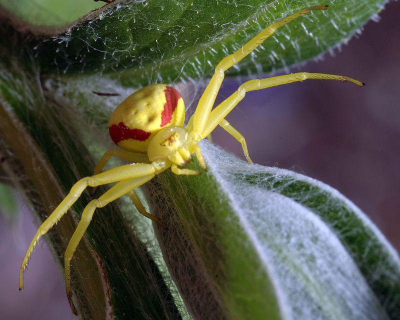Crab Spider Tamron 90 2.8