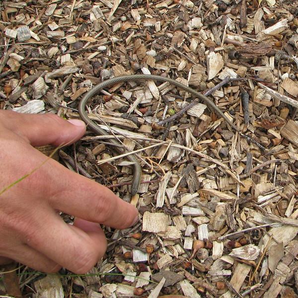 SLL on mulch.JPG