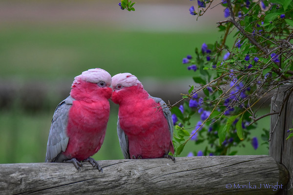 Harmoni Photography Cockatoos and Galahs