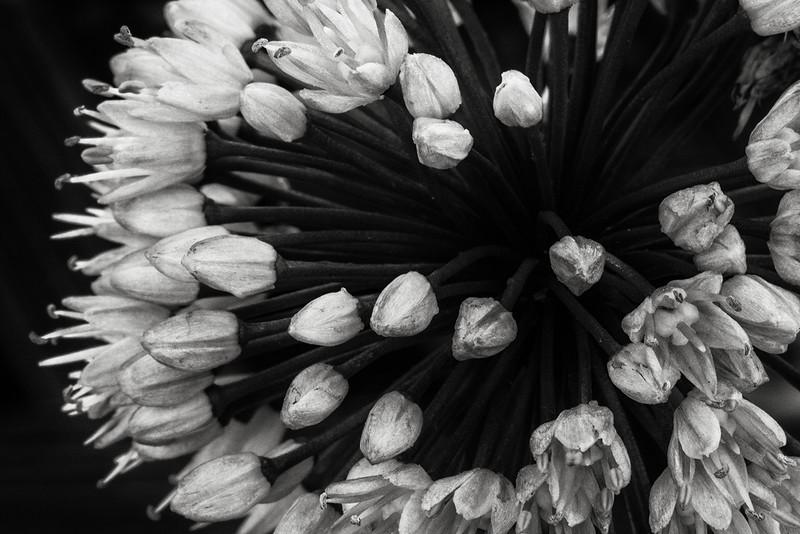 chive-flowers-03.jpg