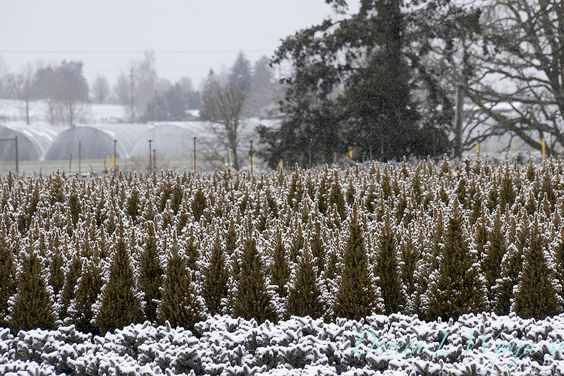 Picea glauca 'Conica' can yard in snow_4147.jpg