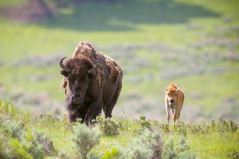 Bison&Calf.jpg