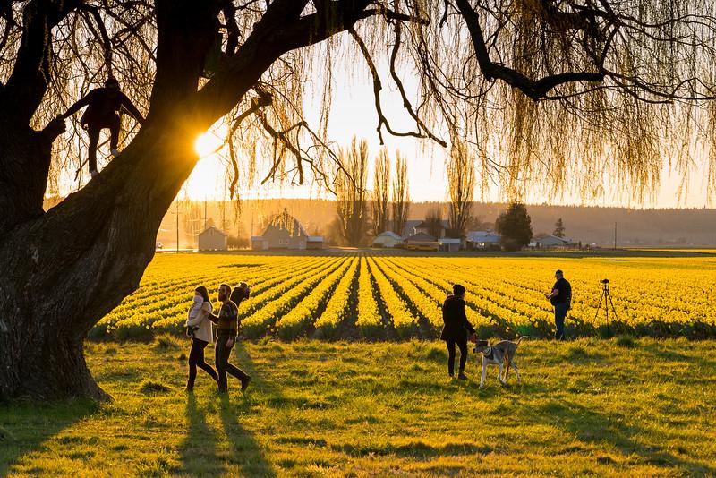 laconner daffodils-6456.jpg