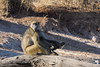 A Baboon keeping an eye on the Chobe River