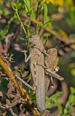 Anacridium aegyptium, Egyptian Grasshopper,