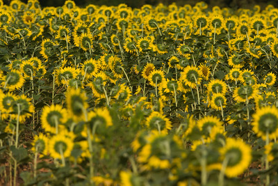 Sunflowers and Swamps