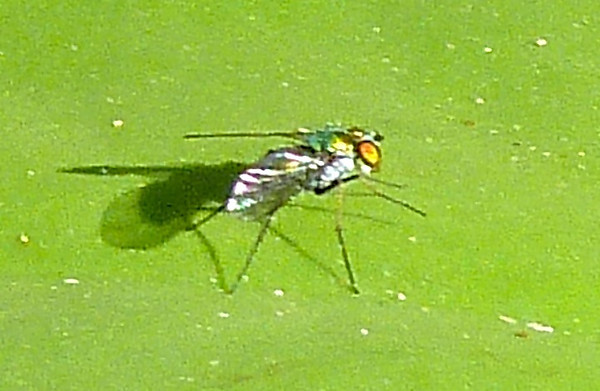 P105Long-leggedFly318 Sept. 1, 2011  9:50 a.m.  P1050318 Long-legged fly of Unknown species at LBJ WC shows some of his wing veins.