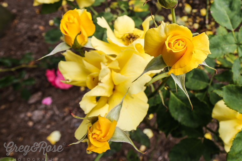 Rose Utersen