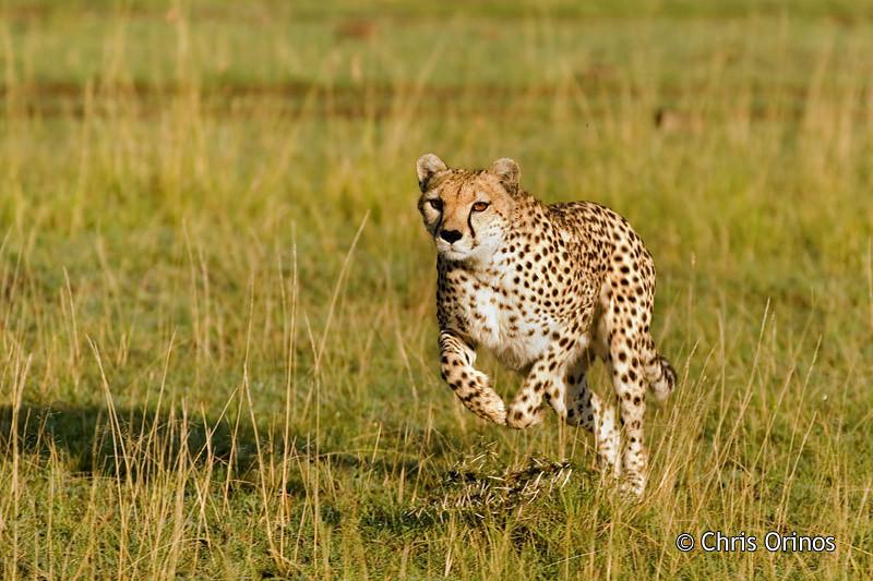 Masai Mara | Kenya Cheetah ready to go about chasing
