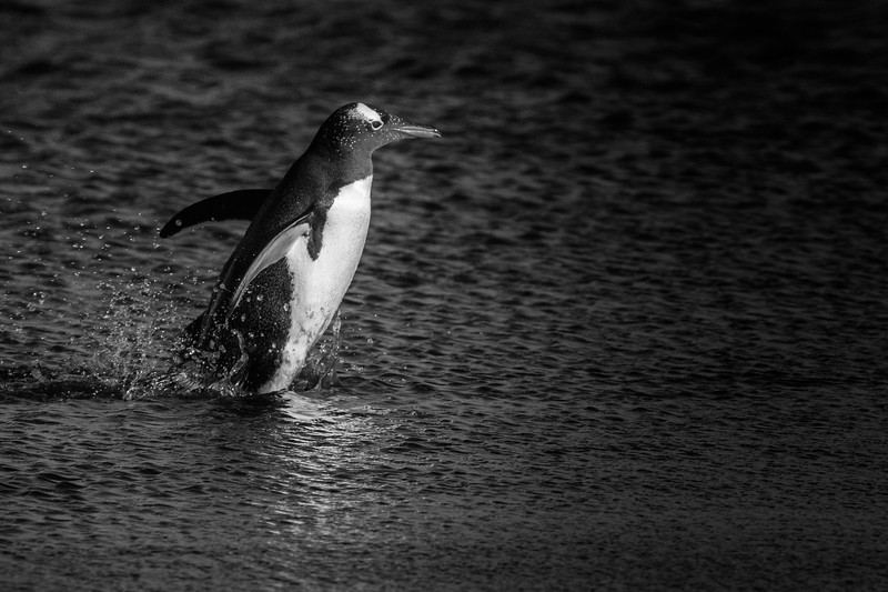 Gentoo penguin, Sea Lion Island, Falklands