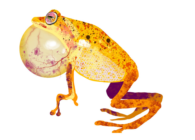 yellow_bush_frog.jpg