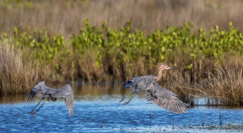 Reddish egrets chasing each other around