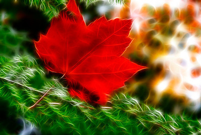 Red Maple leaf fallen on green Pine branches.