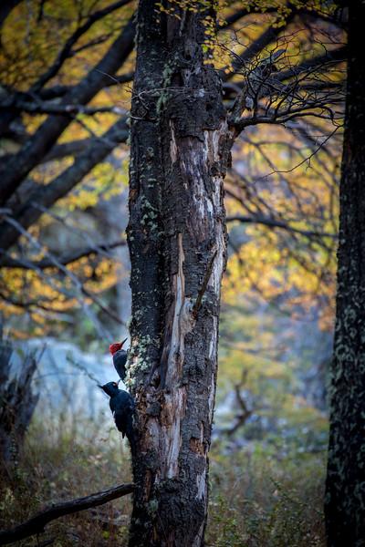 Patagonain Woodpecker, El Chalten-2.jpg