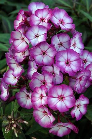 Phlox paniculata 'Sweet Summer Fantasy' (R) Met dank aan Huub van Dito Plants voor het gebruik van de foto