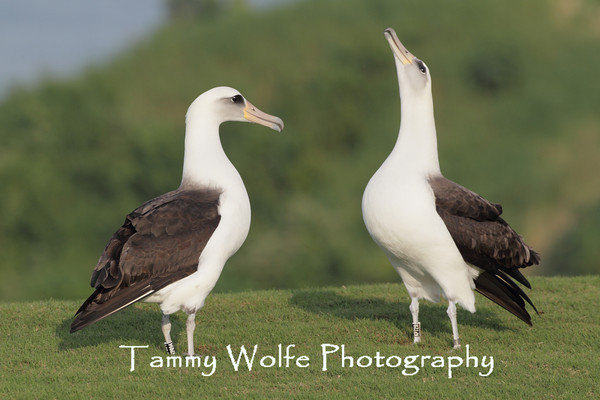 Albatross, Laysan