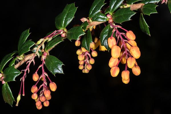 Darwins barberry