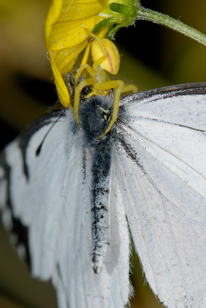 Crab Spider gets a Pine White butterfly.