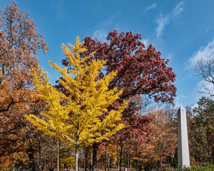 Ginkgo trees in Forest Hill Cemetery