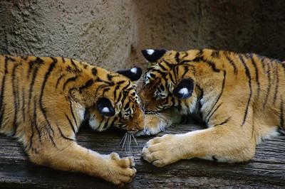 Big Kitties