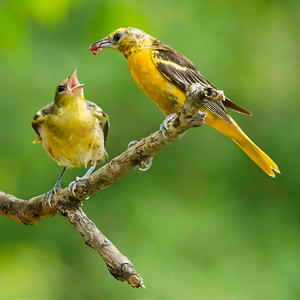 """This one is one of my all-time favorite bird pictures with """"mom"""" oriole feeding her baby.  I don't know how I lucked out to get the mother with the Jelly ready to go in the babies mouth but I sure was happy about it.  Kind of like going fishing a catching a trophy fish that you plan to mount."""