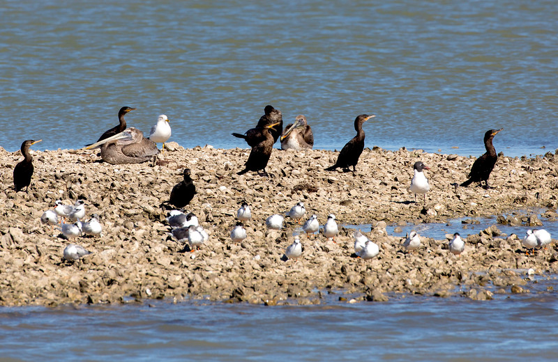 Cosmopolitan rookery -- Cormorants, Brown Pelicans, Common Terns, and Ring-Billed Gull,